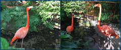 Key West (Florida) Trip 2016 0195-0196 (edgarandron - Busy!) Tags: florida keys floridakeys keywest butterflyhouse keywestbutterflyandnatureconservatory bird birds flamingo