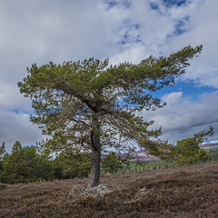outlier (prajpix) Tags: conifer tree wood pine caledonian scots dulnain highlands scotland ancient nature woods forest