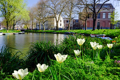 Tulips @ Utrecht (PaulHoo) Tags: utrecht water canal gracht city urban fujifilm fuji x70 color flora building architecture cityview spring tulip narcissus 2017 cityscape holland netherlands