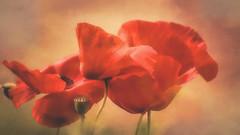 Mohn (dieter-und-marion sempf) Tags: klatschmohn mohn blume blumen blüte blüten natur mohngewächse mohnblume mohnblumen pflanze pflanzen frucht samen kronblättern