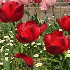 チューリップ (eyawlk60) Tags: red pink beautiful white チューリップ 赤 赤色 春 ピンク 花