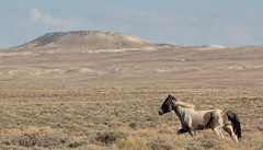 Mesa Runner (chad.hanson) Tags: wyoming wildhorses mustangs wildlife reddesert