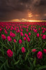 Dark Romance (albert dros) Tags: storm travel windmills dutch plants redtulip thenetherlands sunrise red albertdros sunset tourism flowers tulips