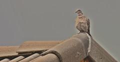 Eurasian- Collared Dove with - Bed Head- (eddyandtroymike@yahoo.com) Tags: colorado birds pigeons