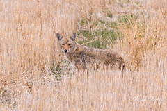A hobbled Coyote