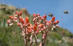 Dudleya visitors (Jeff Goddard 32) Tags: wildflowers midlandschoolproperty santabarbaracounty sanrafaelmountains california bee anthophora anthophoracalifornica dudleya pollinator dudleyalanceolata southerncaliforniadudleya
