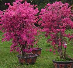 Pots of colour (Ben Zabulis) Tags: pot flowerpot asia purple bloom nature plant shrub bush fareast hongkong taipo flower 大埔 香港 新界 newterritories potplant 5photosaday bougainvillea