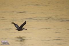 Pelican flight (The Suss-Man (Mike)) Tags: reflection bird beach nature animal georgia pelican tybeeisland savannah atlanticocean chathamcounty thesussman sonyalphadslra550 sussmanimaging