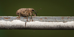 greenworld. springtime #81 (MecaEPT) Tags: macro animal closeup canon garden insect handheld 60mm weevil arthropod meca insecta greenworld verges canonefs60mmf28usm canonina