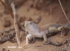 #Lizard  # # #plant #  # #nature #video # #zoom #  # # #ksa #saudi #Alpha  # # # # (photography AbdullahAlSaeed) Tags: plant nature video zoom lizard saudi alpha ksa