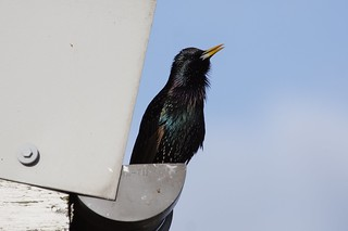 Starling (male)