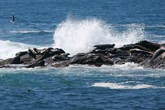 Cobble Beach Seals IMG_7854 (SunCat) Tags: travel vacation beach oregon coast harbor all head cobble newport seals pnw 2014 yaquina