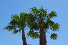 Espaa, Murcia, gestin del agua,  sistemas de riego, (jlfaurie) Tags: espaa water canal lemon agua eau palmeras murcia pedro monica citrus citron palmier limon mechas riego gestion jlf riosegura citronnier mpmdf