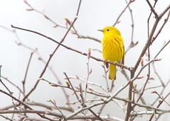_53F8143 Yellow Warbler (~ Michaela Sagatova ~) Tags: ontario dundas songbird yellowwarbler dendroicapetechia woodwarbler dvca michaelafotheringham michaelasagatova