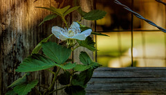 Boysenberry Flower Vine On Fence Post And Wires (Kat~Morgan) Tags: fence spring wires posts boysenberryflower