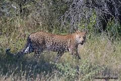 DSC_8658 (Arno Meintjes Wildlife) Tags: africa nature southafrica wildlife safari leopard bigcat predator krugerpark big5 arnomeintjes