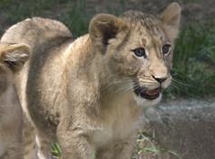 National Zoo Tue 13 May 2014 (478) African Lion (smata2) Tags: washingtondc smithsonian dc leo lion katze bigcats lowe pantheraleo nationscapital smithsoniannationalzoo greatcats itsazoooutthere zoosofnorthamerica flickrbigcats