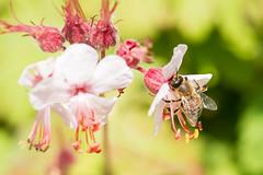 Honey bee (Keith_Prefect) Tags: summer sun flower macro hair petals bees bee stamen nectar pollen pollinate