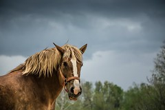 Maude before the storm (Jen MacNeill) Tags: horses horse storm animal cloudy pennsylvania farm dramatic pa lancaster belgian lancastercounty draft workhorse palomino landisvalley landisvalleymuseum