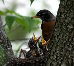 (hbp_pix) Tags: red wild cemetery robin turkey pix mt nest wing auburn blackbird hbp