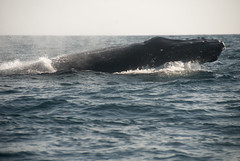 Hump Back (acreativename) Tags: ocean water costarica tail whale humpback