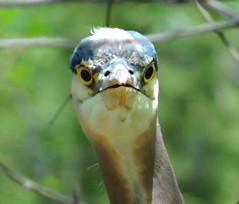 Head on heron (EcoSnake) Tags: face birds close wildlife stare greatblueheron herons naturecenter ardeaherodias gbh idahofishandgame
