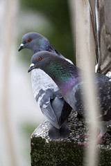 Pigeons on a balcony (Lu7h13n) Tags: urban bird canon outdoors pigeon wildlife urbanwildlife tele 70to200mm 70200mm telezoom eos500d