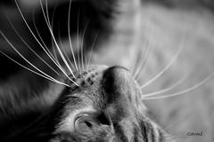 Nello stupore (Carm) Tags: explore gatto gilda