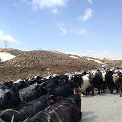 Transhumance, Zagros mountains, Zardkuh (ZiKiarts) Tags: snow mountains dogs wool animals nikon cattle sheep iran sony donkey goat betail neige livestock printemps moutons dena chiens ane sheperd laine berger nickon tribu nomade 2014 spirng bakhtiari zagros chevres transhumance trib tarom zagrosmountains zardkuh bazoftforever bazoft zikiarts zikia tribetribeau zikiartsbazoftforever2014 telourd retehuh montdena sepidkuh