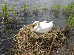Swan sitting on her nest. (TREASURES OF WISDOM) Tags: whatisthis lake love nature look mystery wow wonderful nice fantastic swan view nest quality yes magic goddess visit lodge collection unknown eggs unusual vibes wisdom spiritual brilliant mystic unseen mythical intresting doffcockerlodge