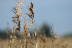 Reed Bed (Rovers number 9) Tags: england june sony lancashire a77 2014 rspbleightonmoss sonya77 june2014