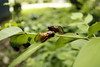 17 Years in the Making (Phil Roeder) Tags: bug cicada iowa bugs cicadas desmoines 17years canon15mmf28