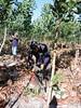 GWD Forestry pruning wattle / acacia 8 (GWD Forestry - Brazil) Tags: forestry acacia pruning wattle gwd