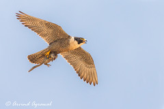 Peregrine Falcon with Squirrel - IMG_5359-2 (arvind agrawal) Tags: squirrel sandiego falcon 2009 peregrinefalcon