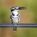 Pied-Kingfisher (Ceryle r. rudis)