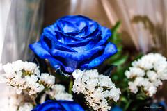 LA rosa culminante (Edwin.1997) Tags: blue roses de y para negro una alemania todo tu rosas ramo fondo regalo castillo carta edwin nada malo amazonas azules amada salazar verdecora mesnada acompaalo