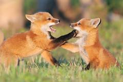 You Talk Too Much!!! (Megan Lorenz) Tags: wild baby playing ontario canada nature pups babies wildlife fox kits wildanimals redfox naturephotocontest mlorenz meganlorenz