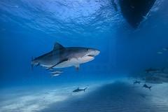 2014 03 TIGER BEACH-2109