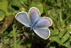 Plebejus argus  (Silver-studded Blue) (Nick Dean1) Tags: blue butterfly insect lepidoptera arthropoda arthropod insecta lycaenidae plebejusargus silverstuddedblue