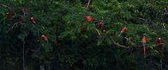 Scarlet macaws (ggallice) Tags: bird peru southamerica scarlet amazon rainforest parrot jungle macaw aramacao guacamayo madrededios tambopataresearchcenter tambopatanationalreserve reservanacionaltambopata