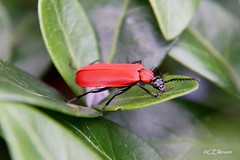 Scharlachroter Feuerkfer  /  Cardinal beetle (2) (Ellenore56) Tags: light red inspiration color detail macro reflection rot nature leaves animal animals fauna bug garden insect licht tiere photo perception leaf focus foto view emotion magic natur beetle perspective imagination moment creature makro blatt magical bltter farbe insekt reflexion garten vermin tier insekten perspektive fascinating reflektion kfer augenblick fokus flyinginsect faszination cardinalbeetle kardinal feuerkfer lebewesen tierwelt nahtour sichtweise pyrochroacoccinea fluginsekt scharlachroterfeuerkfer blackheadedcardinalbeetle ellenore56 commoncardinalbeetle kardinle sonyslta77 02062014