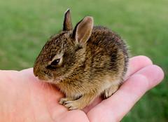 Rabbit (photographyguy) Tags: cute rabbit bunny oklahoma nature animal mammal furry hare hand wildlife fingers palm tulsa