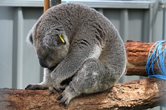 Very, very tired ! (kitz-travellers) Tags: animals australia koala nsw newsouthwales australien downunder portmacquarie koalahospital