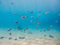 20140706-L1020199.jpg (Oz Eigerman) Tags: fish underwater  scuba diving eilat