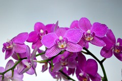 Blooming Orchids (The photo goddess17) Tags: life flower pretty florial bloomingorchid
