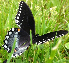 Animals (liu.theo1) Tags: orange white black green apple nature beautiful beauty grass animal butterfly insect pretty statenisland amateur antenna nicefind iphonecamera cloveslakes