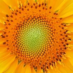 Sunflower -  (yoel_tw) Tags: sunflowers sunflower   a3300 canonpowershota3300
