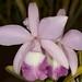 Lc. Loveknot var. coerulea 'Pheasant Ridge' – Alex Nadzan