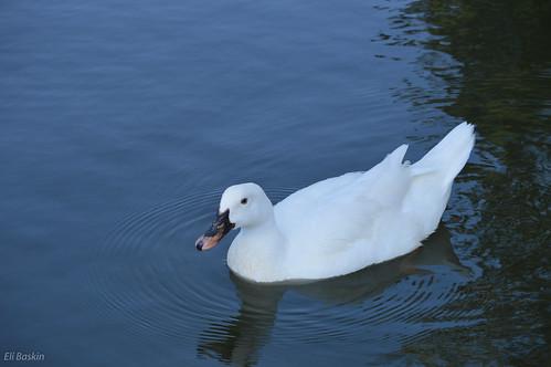 ברווז לבן