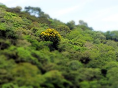 Exibicionista* (Márcio Vinícius Pinheiro) Tags: brazil tree verde green nature yellow brasil rj natureza gimp verdeeamarelo árvore itacuruçá tiltshift mangaratiba itaguaí baíadesepetiba